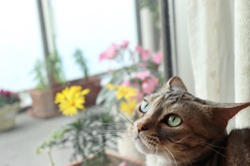 いか耳で見上げる猫