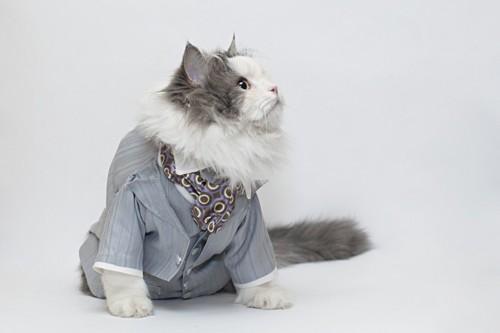 スーツを着る猫