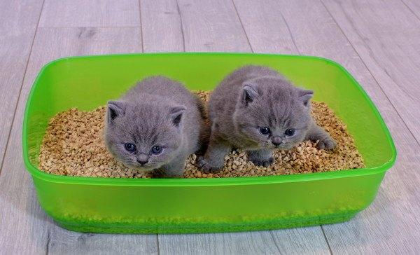 猫のトイレに入っている2匹の子猫
