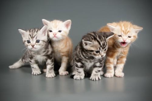 並んで座るアメリカンショートヘアの子猫たち