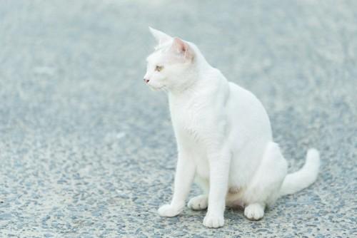 道に座る白猫