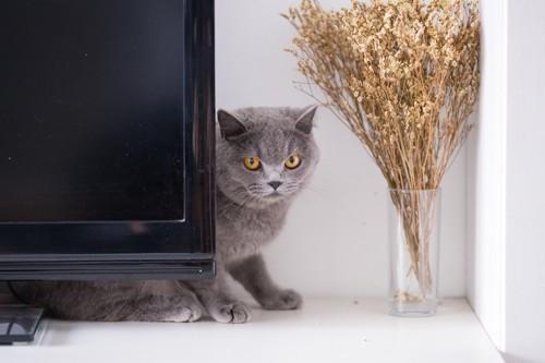 テレビの裏に隠れるグレーの猫