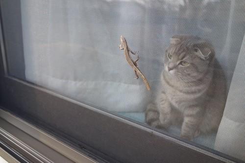 網戸越しに獲物を狙う猫