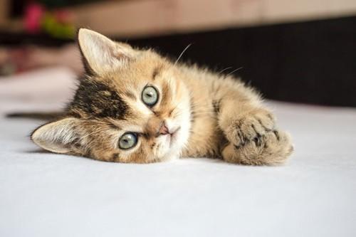 目を開けて横になっている子猫