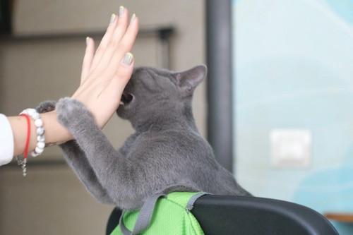 差し出された人の手を両手で掴んで噛む猫