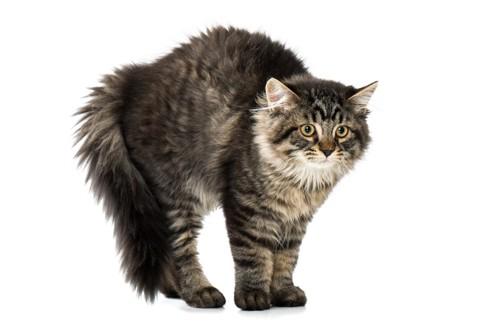 毛が逆立っている猫