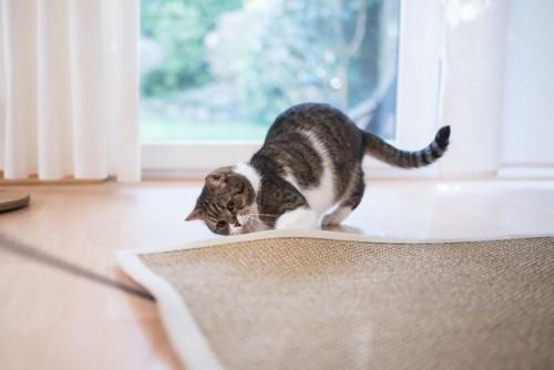 カーペットの下を確認する猫