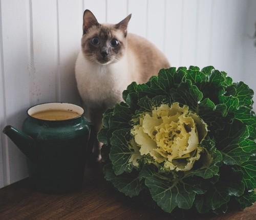 キャベツの横に座る猫