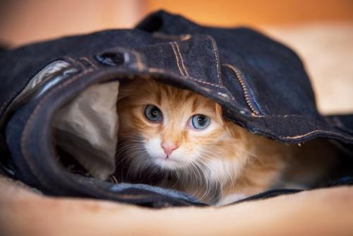 ジーンズの中からこちらを見る猫