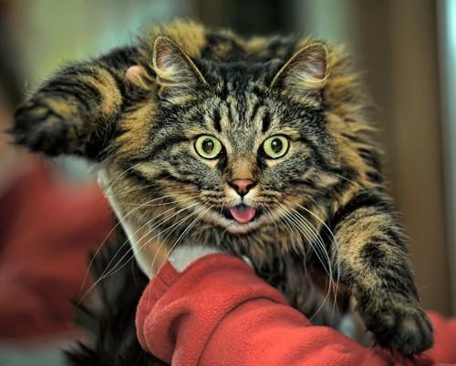抱っこされて目を丸くして舌を出す猫