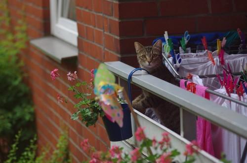 ベランダに出て外を見る猫