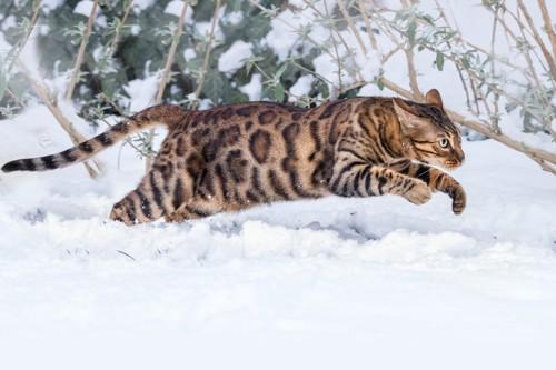 ベンガル雪の中