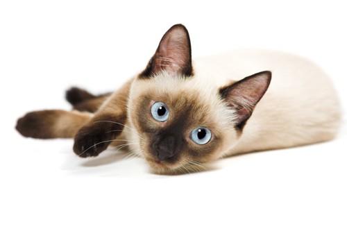 目が青い猫