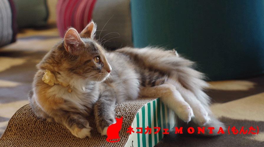 メインクーンのいる猫カフェMONTA