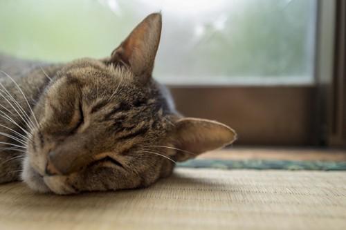畳の上で睡眠中の猫