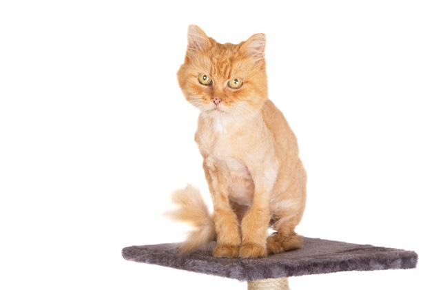 座っているライオンカットされた猫