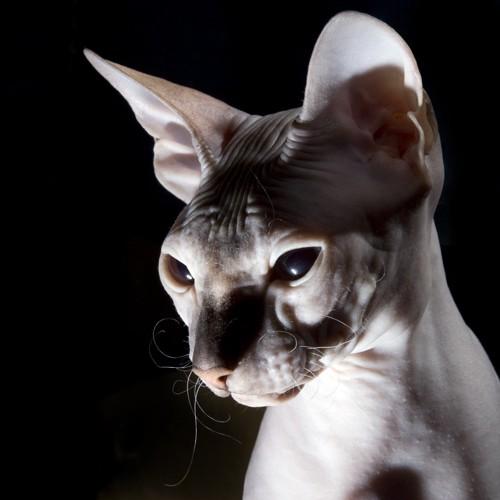 エイリアンのように見える猫