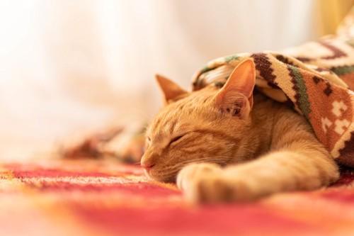 こたつ布団の上で仰向けになる猫