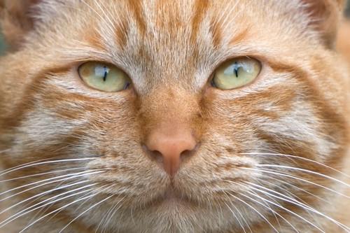 茶トラ猫の顔アップ