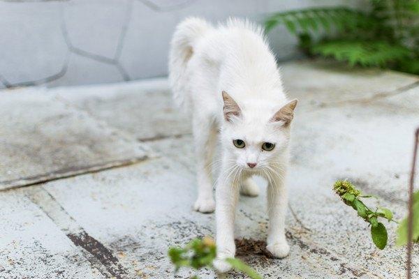 逆立つ白猫