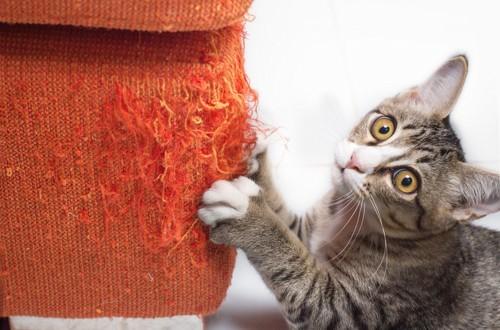 赤い爪とぎを研いでいるキジトラ白の子猫