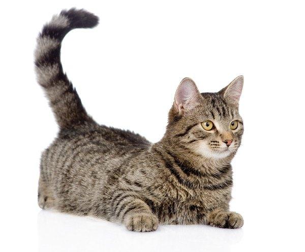 しっぽだけ立てて伏せるキジ猫
