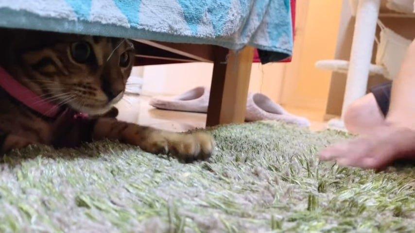 ピンクの首輪の子猫