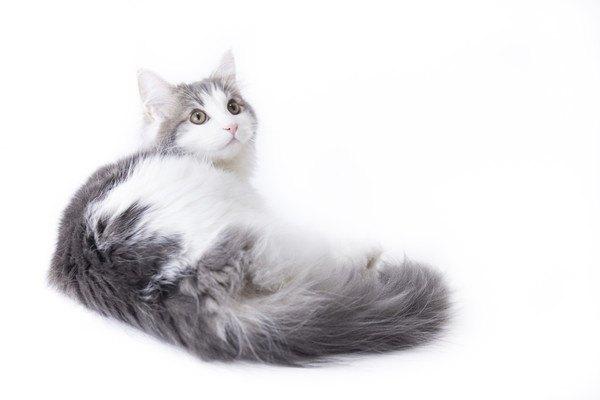 もふもふな長毛種の猫