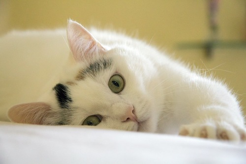 横になりながらこちらを見つめる猫