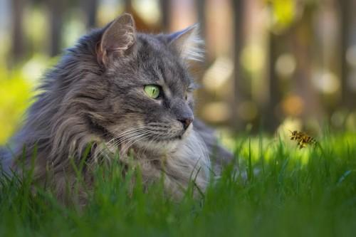 草むらで飛んでいる蜂を見ている猫