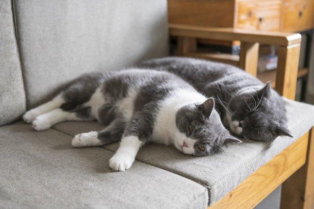 ソファで添い寝する猫