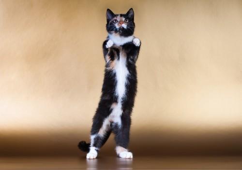 後ろ足だけで立つ猫