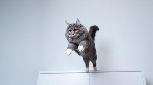 ジャンプするグレー長毛猫
