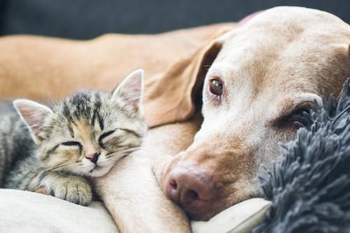 寄り添ってくつろぐ犬と子猫