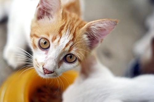 キャットフードを食べる猫