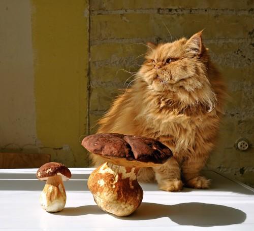 大きなキノコと座る長毛猫