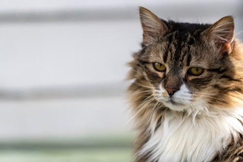 寂しげな顔の猫