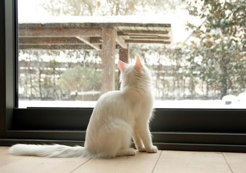 雪を見る白猫