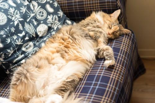 ソファーで眠っているメインクーン