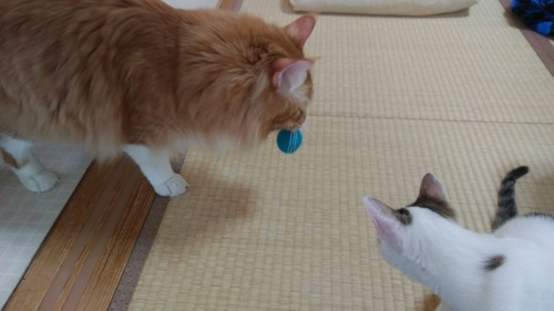 ボールをくわえる茶色の猫とそれを見る猫