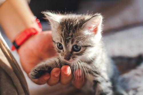 人の手の上に乗る子猫
