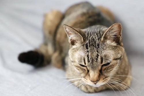 香箱座りで眠る体調の悪い猫