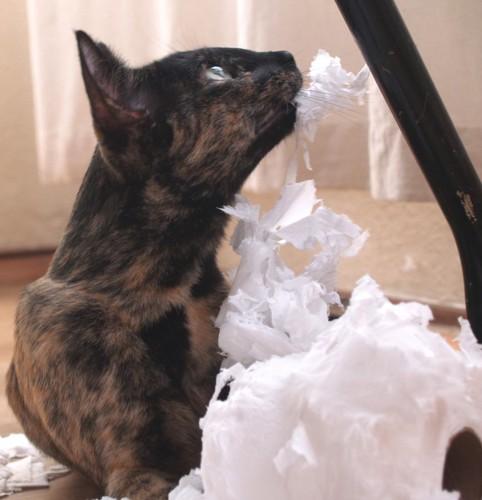ティッシュを噛む猫
