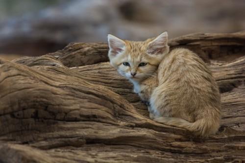木の陰に隠れるスナネコ