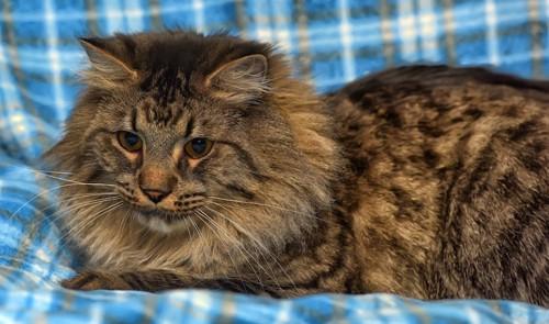 青いチェック柄の布の上でくつろぐたてがみのある猫