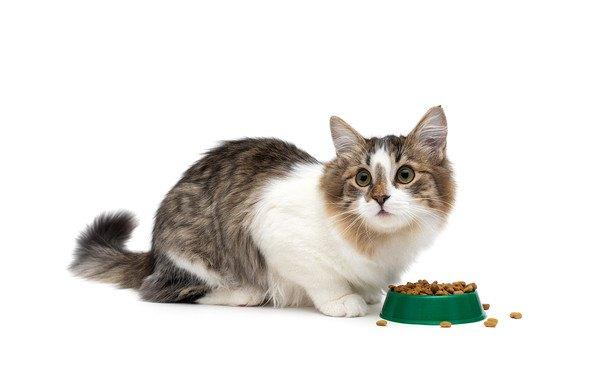 ご飯の前で見上げる猫