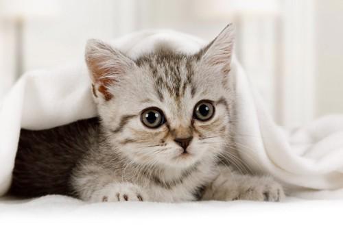布団の中にもぐる猫