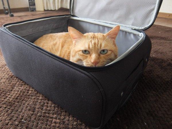 ケースに入る猫