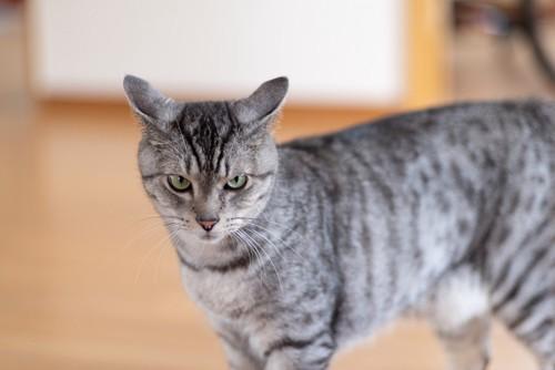 耳を後ろに向ける猫
