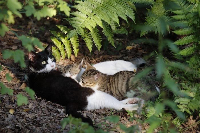 授乳中の親子猫の写真